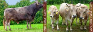 Bruna-Schwytz-Carne-Lapte-Taur-Vaca-Vitea