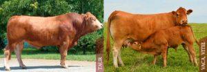 Limousine-Taur-Vaca-Vitea